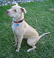American Pit Bull Terrier - Seated.jpg