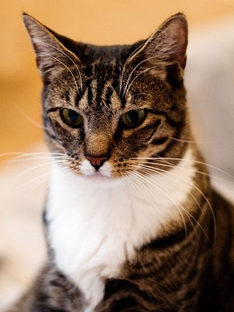 Domestic short-haired cat - Tabby male domestic short-haired cat