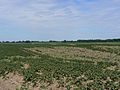 Amflora-Feldzerstörung im Juli 2010.jpg