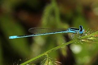 <i>Amphiallagma parvum</i> species of insect