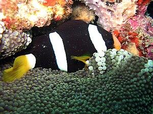 Clark's anemonefish - melanistic variation with Stichodactyla mertensi