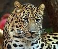 Amur Leopard (1970226951).jpg