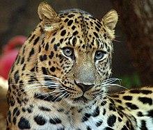 L'HISTOIRE DES FEMMES PANTHERES dans PANTHERE - LEOPARD 220px-Amur_Leopard_%281970226951%29