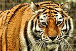 Amur Tiger - Linton Zoo (16727847219).jpg