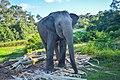 An elephant at the Dulahazra Safari park, Bangladsh.jpg