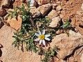 Anacyclus pyrethrum kz10.jpg