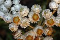 Anaphalis margaritacea 6364.JPG