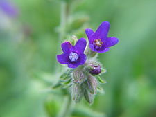 Anchusa officinalis 20060810 007.jpg