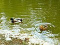 Ancient Shiloh Ducks 2019.jpg