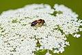 Andrena sp. (42217025681).jpg