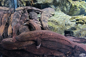 Japanese giant salamander - Japanese giant salamanders in Kyoto Aquarium