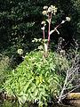 Angelica archangelica litoralis kz2.JPG