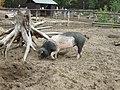 Angler Sattelschwein in Klaistow 002.JPG