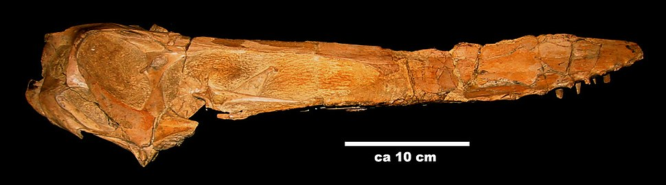 Anhanguera-santanae skull