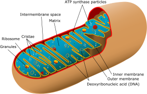 Animal mitochondrion diagram en (edit).svg