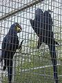 Anodorhynchus hyacinthinus -Paphos Zoo -aviary-6.jpg