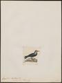 Anous cinerea - 1820-1860 - Print - Iconographia Zoologica - Special Collections University of Amsterdam - UBA01 IZ17900416.tif