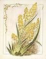 Anthericum hookeri. (1890-1896). by Emily Cumming Harris.jpg