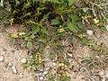 Anthyllis tetraphylla (habitus).jpg