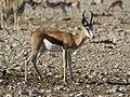 Antidorcas marsupialis 2.jpg