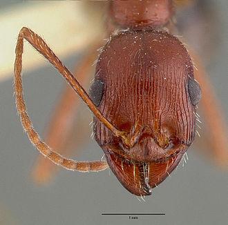 Novomessor cockerelli - Head of worker