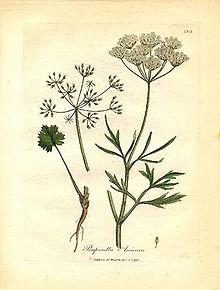 Anice (Pimpinella anisum) da Medical botany di William Woodville. Londra, James Phillips, 1793