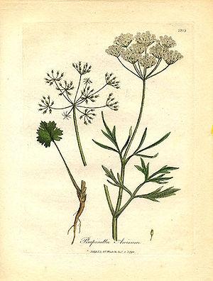 Apiaceae - Image: Apiaceae Pimpinella anisum