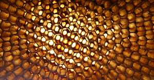 Honeycomb - Closeup of an abandoned Apis florea nest, Thailand – the hexagonal grid of wax cells on either side of the nest are slightly offset from each other. This increases the strength of the comb and reduces the amount of wax required to produce a robust structure.