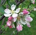 Apple Blossom Time - geograph.org.uk - 786883.jpg