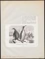 Aptenodytes pennantii - 1872 - Print - Iconographia Zoologica - Special Collections University of Amsterdam - UBA01 IZ17800273.tif