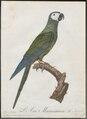 Ara manilata - 1796-1808 - Print - Iconographia Zoologica - Special Collections University of Amsterdam - UBA01 IZ18500103.tif