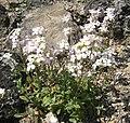 Arabis alpina L 01HD.jpg