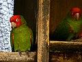 Aratinga erythrogenys -Ecuador -zoo-8a.jpg