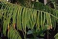 Araucaria subulata JdP.jpg