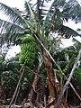 Arbol bananero.jpg