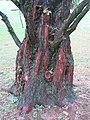 Arboretum de Bagnoles - Metasequoia glyptostroboides (tronc).jpg