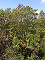 Arbutus andrachne - Greek Strawberry Tree - Sandal Ağacı 04.JPG