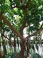 Arbutus marina 2.jpg