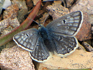 <i>Agriades glandon</i> species of butterfly