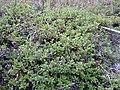 Arctostaphylos uva-ursi (5192872674).jpg