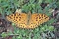Argynnis hybrida 09.jpg