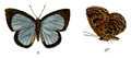 ArhopalaBelphoebe 688 3 Fitch.png