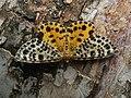 Arichanna melanaria - Пяденица голубичная (42885772245).jpg