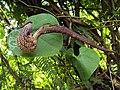 Aristolochia ringens 30.JPG