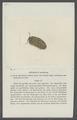 Armadillo morbillosus - - Print - Iconographia Zoologica - Special Collections University of Amsterdam - UBAINV0274 098 09 0004.tif