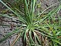 Armeria maritima ssp. elongata 2017-06-25 3132.jpg