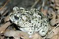 Arroyo Toad (15275809928).jpg