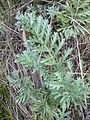 Artemisia pancicii sl 4.jpg