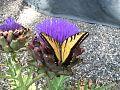 Artichoke butterfly.JPG
