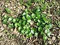 Asarum europaeum subsp. europaeum sl14.jpg